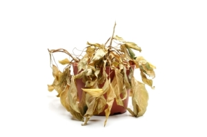 dead plant with dry leaves closeup isolated on white